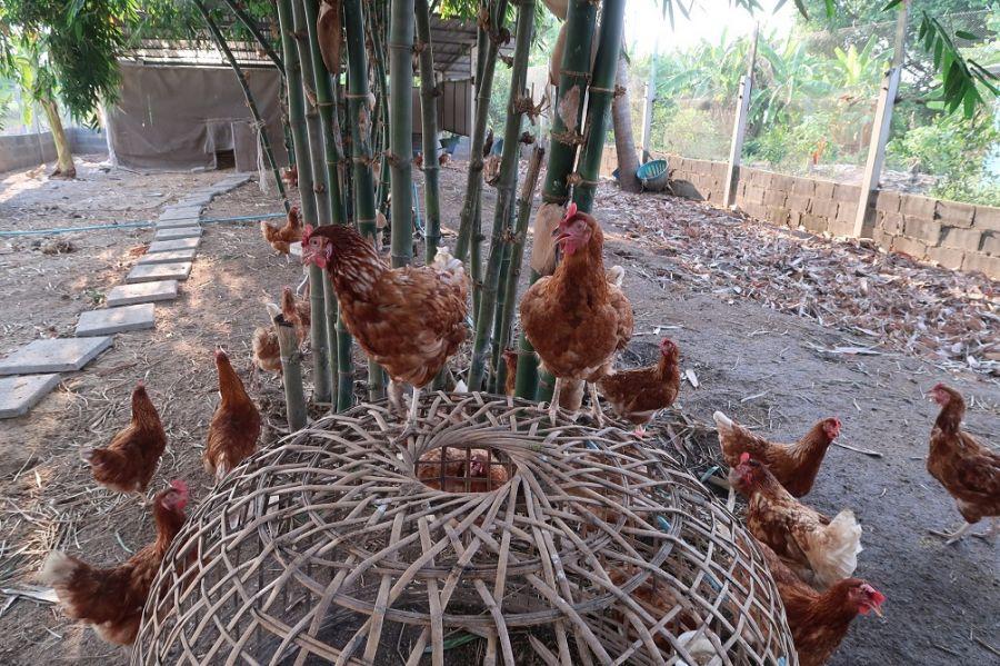 ไก่ไข่พันธุ์โร้ดไอร์แลนด์